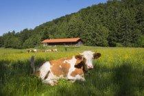 Німеччина, Баварія, верхній Баварії, корова, лежачи на зелений луг, видом на гори на тлі — стокове фото