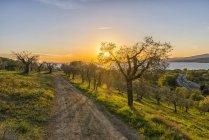 Italy, Umbria, Lake Trasimeno, Olive grove on the hills at sunset — Stock Photo