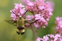 Amplio borde abeja Hawk-polilla, Hemaris fuciformis - foto de stock