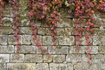 Japanese creeper in autumn on stone wall — Stockfoto