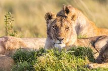 Wild lions lying down in evening sunshine — Stock Photo