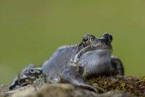 Портрет травяная лягушка, сидя на Мосс — стоковое фото