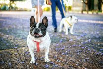 Французский бульдог с собакой и владельцами на заднем плане — стоковое фото