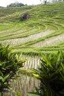 Paisaje asiático Indonesia, Bali, con campos de arroz - foto de stock