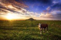 Шотландия, Восточный Лотиан, поле с коровами и пейзаж заката с видом на горы на фоне — стоковое фото