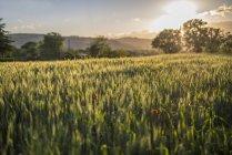 Coucher de soleil sur les champs de blé, Gubbio, Ombrie, Italie — Photo de stock