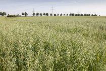 Allemagne, champ d'avoine pendant la journée, Avena — Photo de stock