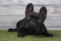 Чёрный французский бульдог лежит на траве — стоковое фото