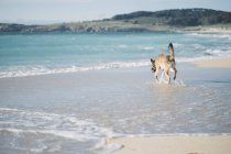 Mongrel dog walking in water at seafront — Stock Photo