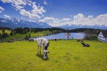 Deutschland, Ostallgäu, Füssen, Kühe auf der Weide am See, landschaftlich reizvolle Landschaft im Hintergrund — Stockfoto