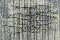 Pear tree growing on old wooden wall — Stock Photo