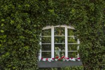 Window in between ivy on house facade — Stock Photo