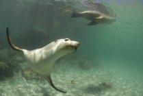 Australia, Port Lincoln, Sealionsswimming  underwater — Stock Photo
