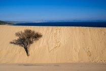 Іспанії, в Андалусії, Tarifa, Пунта Paloma, блукаючи dune, дерево в піску — стокове фото