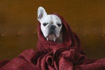 Портрет французского бульдога, завернутого в красное одеяло — стоковое фото