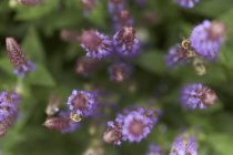 Two bees on lavender blossoms — Stock Photo