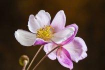 Vista de cerca de coloridas flores, anémona hupehensis - foto de stock