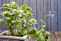 Vue diurne de floraison Plectranthus caninus dans pot de fleurs — Photo de stock