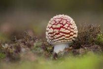 Champignon agaric de mouche de plus en plus à l'automne les feuilles — Photo de stock