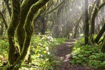 Spagna, Isole Canarie, La Gomera, Cloud forest, foresta di alloro, percorso — Foto stock