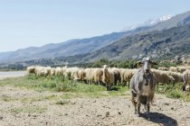 Greece, Crete, Flock of sheeps by road, mountains on background — Stock Photo