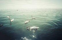 Gruppe von Höckerschwäne auf See im Gegenlicht — Stockfoto