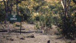 Botswana, Chobe National Park, Leonessa sdraiata accanto a nessun segno dell'entrata — Foto stock