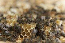 Colonie d'abeilles, gros plan — Photo de stock