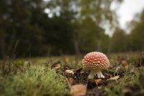 Agaric de mouche champignons qui poussent sur la Prairie — Photo de stock