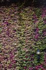 Ivy dans des couleurs automnales qui couvre une façade — Photo de stock