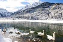 Austria, Kleinarl, group of mute swans on Jaegersee in winter — Stock Photo