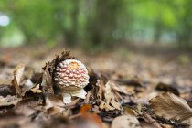 Ypung fly agaric, Amanita muscaria, foglie autunnali — Foto stock