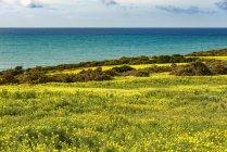 Італія, Сицилія, узбережжя, квітучі рослини, Бермудський buttercup — стокове фото