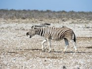 Namibia, Etosha National Park, Burchell's zebra, Equus quagga burchellii, neighing — Stock Photo