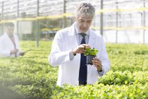 Scientist in greenhouse examining basil plants — Stock Photo