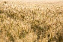 Campo de trigo en sol brillante - foto de stock