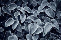 Folhas cobertas de geada no fundo preto — Fotografia de Stock