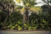 Green palm trees at the roadside — Stock Photo