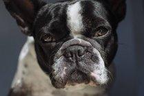 Retrato do Bulldog Francês, olhando para a câmera — Fotografia de Stock