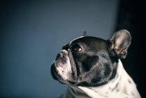 Французский бульдог смотрит в сторону на темном фоне — стоковое фото