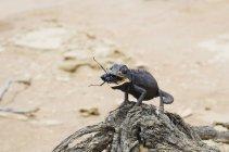 Namíbia, Namib desert, Swakopmund, Namaqua camaleão comendo um besouro no deserto — Fotografia de Stock