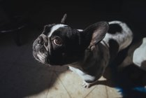 Портрет французского бульдога смотрит вверх — стоковое фото