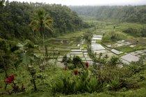 Индонезия, Бали, ландшафт с рисовым полем и джунглями — стоковое фото