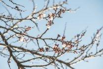 Ramas de los árboles durante el día vista de flor de albaricoque - foto de stock