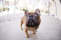 Nahaufnahme der französische Bulldogge suchen auf Straße — Stockfoto