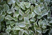 Листья, покрытые льдом, близко. — стоковое фото