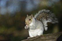 Écureuil de portrait de manger gris — Photo de stock