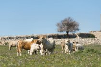 Italy, Sicily, Ragusa, Cow cattle grazing on green flowering meadow — Stock Photo