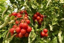 Червоні помідори ростуть на завод — стокове фото