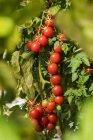 Crescendo na planta de tomate — Fotografia de Stock